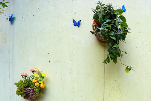 Bất ngờ ngõ hoa dạ yến thảo đẹp mê mẩn giữa lòng Hà Nội - 4