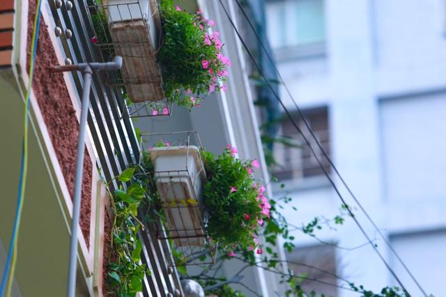 Bất ngờ ngõ hoa dạ yến thảo đẹp mê mẩn giữa lòng Hà Nội - 14