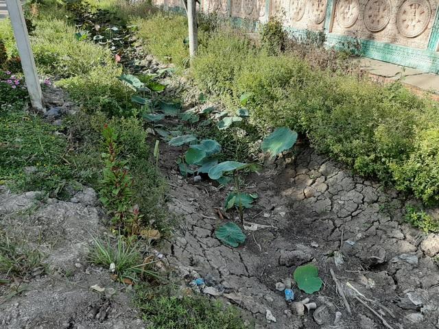 Thiếu nước ngọt, dân đánh liều bơm nước nhiễm mặn… cứu lúa - 6