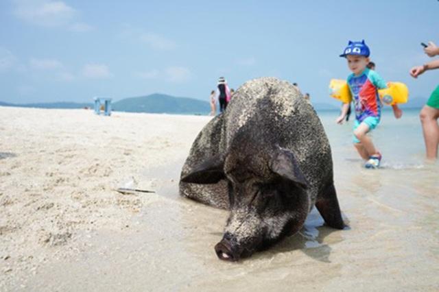 """Lợn rừng """"minh tinh"""": Điểm nhấn trên bãi biển Koh Samui - 1"""
