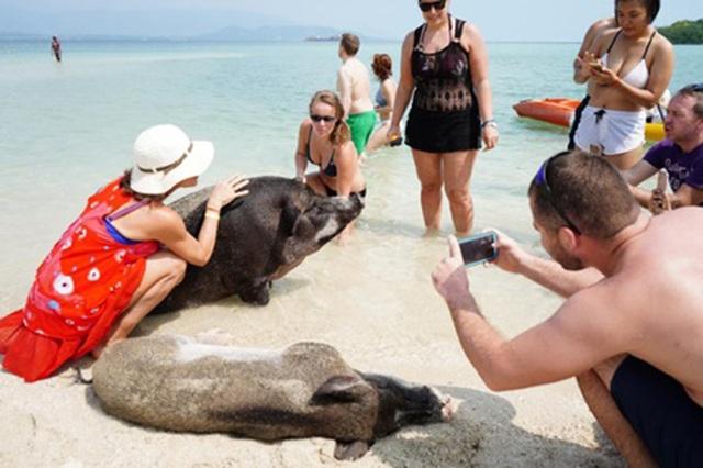 """Lợn rừng """"minh tinh"""": Điểm nhấn trên bãi biển Koh Samui - 5"""