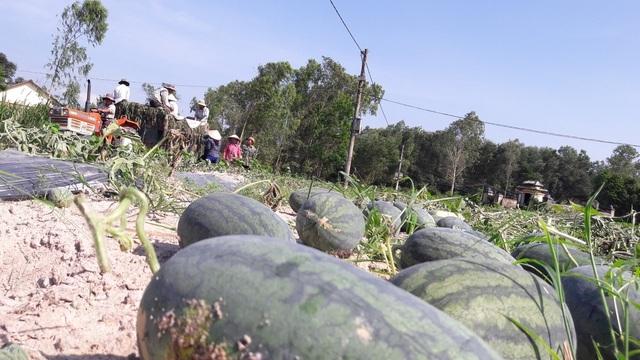 Dưa hấu có nguy cơ chín rụng ngoài đồng vì dịch covid-19 - 1