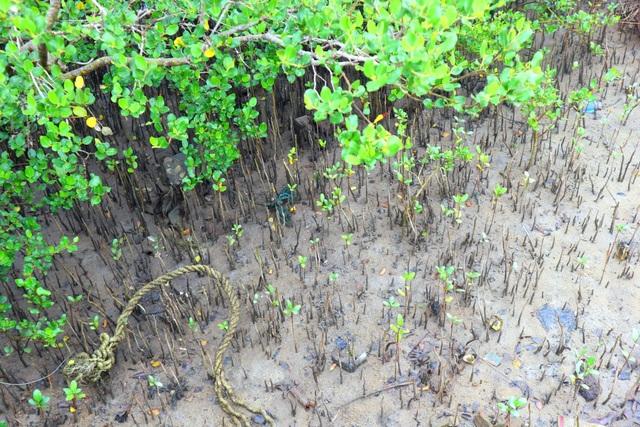 """Khám phá rừng ngập mặn nguyên sinh Tam Giang, """"báu vật"""" của Núi Thành - 10"""