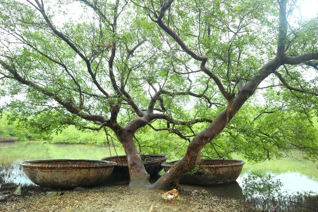 """Khám phá rừng ngập mặn nguyên sinh Tam Giang, """"báu vật"""" của Núi Thành - 11"""