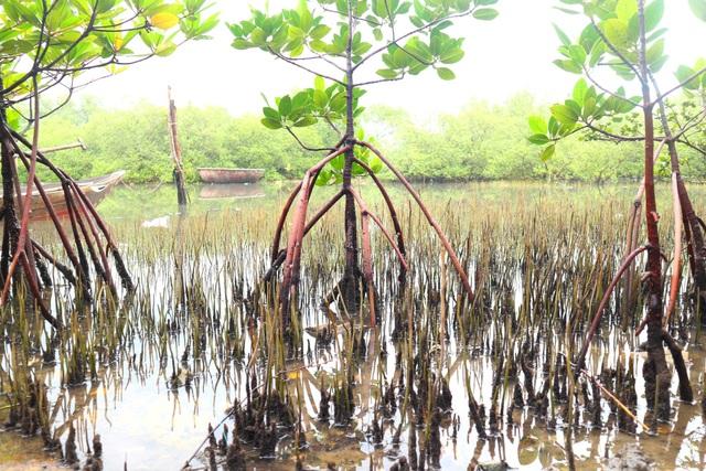"""Khám phá rừng ngập mặn nguyên sinh Tam Giang, """"báu vật"""" của Núi Thành - 2"""
