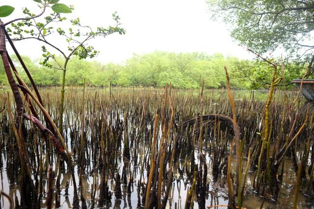 """Khám phá rừng ngập mặn nguyên sinh Tam Giang, """"báu vật"""" của Núi Thành - 5"""