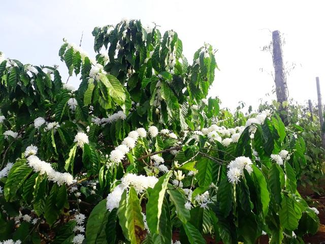 """Mãn nhãn với mùa """"hoa tuyết"""" trên đại ngàn Tây Nguyên - 6"""