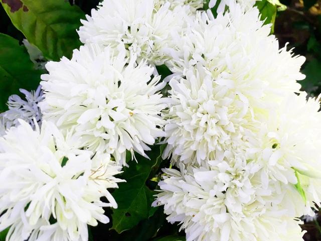 """Mãn nhãn với mùa """"hoa tuyết"""" trên đại ngàn Tây Nguyên - 9"""