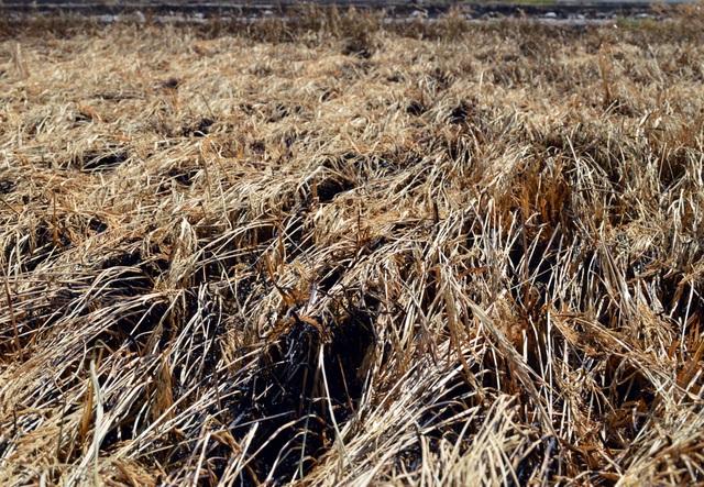 Hàng ngàn m2 lúa chuẩn bị thu hoạch bất ngờ cháy rụi - 2