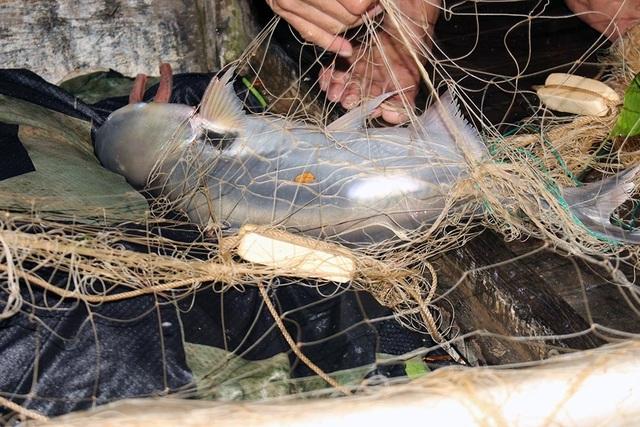 Cuộc săn loài cá nhìn là mê, ăn là phê của ngư dân miền Tây - 3
