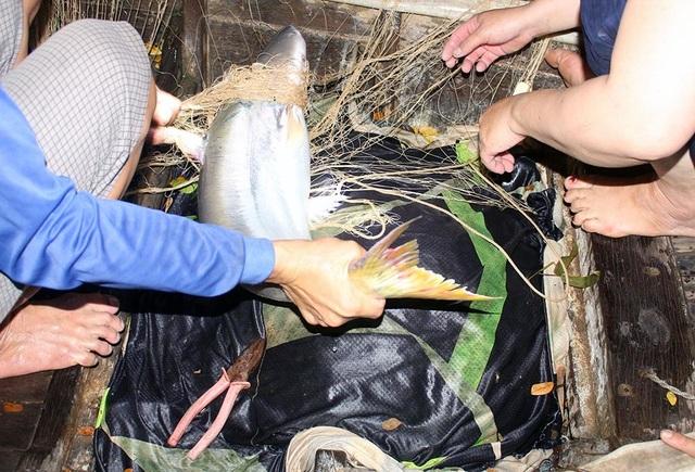 Cuộc săn loài cá nhìn là mê, ăn là phê của ngư dân miền Tây - 4