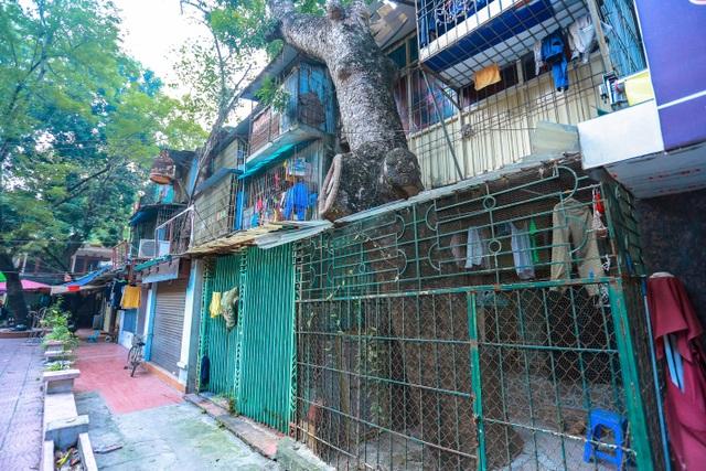 Kỳ dị cây mọc giữa nhà trong khu tập thể cũ độc nhất Hà Nội - 5