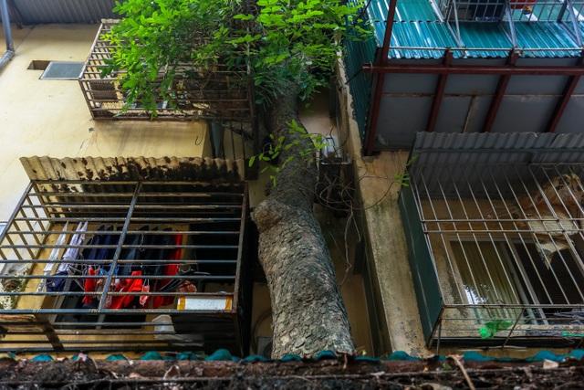 Kỳ dị cây mọc giữa nhà trong khu tập thể cũ độc nhất Hà Nội - 18