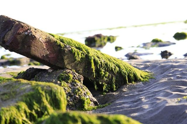 Vẻ đẹp mê hoặc lòng người của cánh đồng rong biển - 3