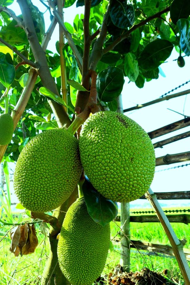 """Check-in """"vườn trái cây Nam bộ"""" nơi rốn lũ của Quảng Nam - 3"""