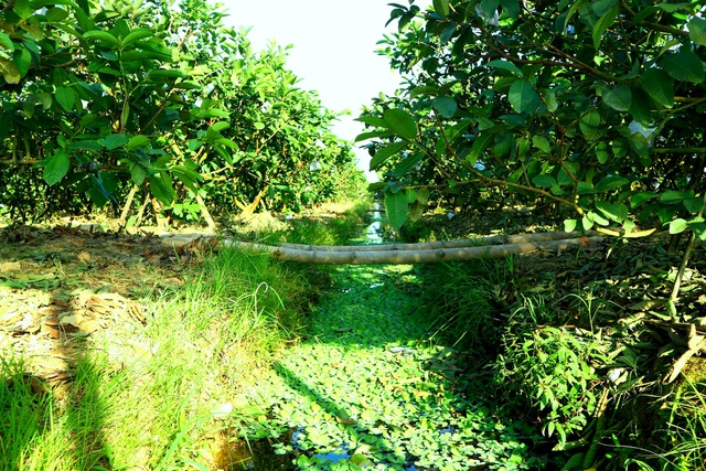 """Check-in """"vườn trái cây Nam bộ"""" nơi rốn lũ của Quảng Nam - 4"""