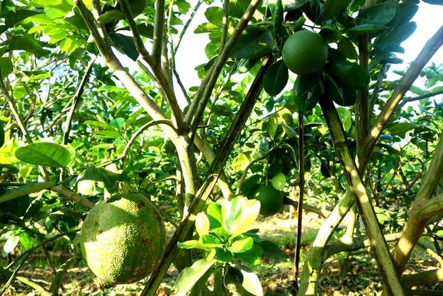 """Check-in """"vườn trái cây Nam bộ"""" nơi rốn lũ của Quảng Nam - 6"""