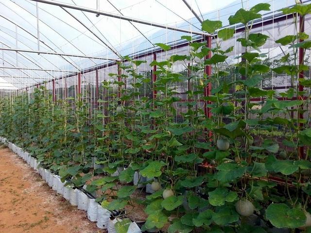 Thạc sĩ nông nghiệp bỏ việc về quê trồng rau sạch thu gần 1 tỷ đồng mỗi năm - 3