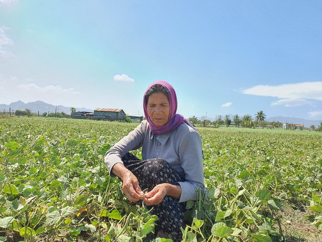 """Dân Ninh Thuận bỏ lúa, trồng đậu xanh để """"chạy"""" hạn - 3"""
