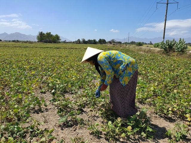 """Dân Ninh Thuận bỏ lúa, trồng đậu xanh để """"chạy"""" hạn - 2"""
