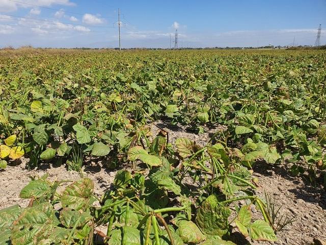 """Dân Ninh Thuận bỏ lúa, trồng đậu xanh để """"chạy"""" hạn - 5"""