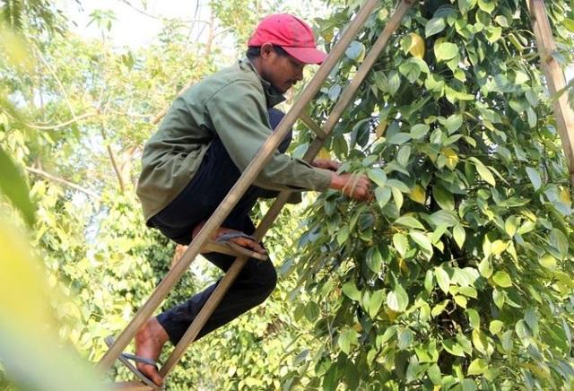 Người làm nghề trồng tiêu điêu đứng vì mức bán thấp, giá công hái cao - 2