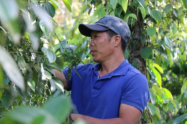 Người làm nghề trồng tiêu điêu đứng vì mức bán thấp, giá công hái cao - 3