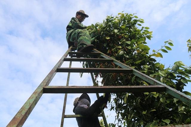 Người làm nghề trồng tiêu điêu đứng vì mức bán thấp, giá công hái cao - 4