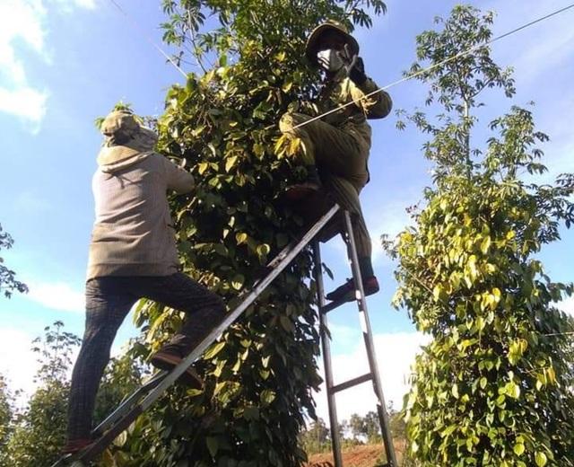 Người làm nghề trồng tiêu điêu đứng vì mức bán thấp, giá công hái cao - 1