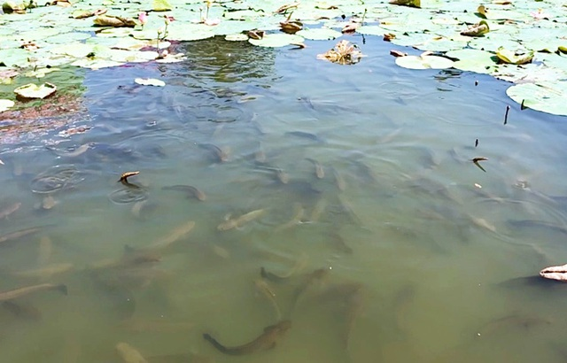 Tròn mắt với độc chiêu luyện cá lóc bay giữa hồ sen như diễn xiếc - 2