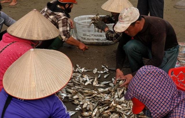 """Thanh Hoá: """"Hốt bạc"""" mùa cá trích ở Sầm Sơn - 8"""