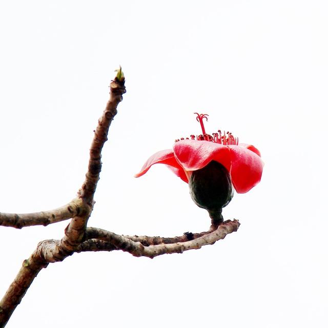 Ngẩn ngơ trước vẻ đẹp rực rỡ của hoa gạo tháng Ba - 7
