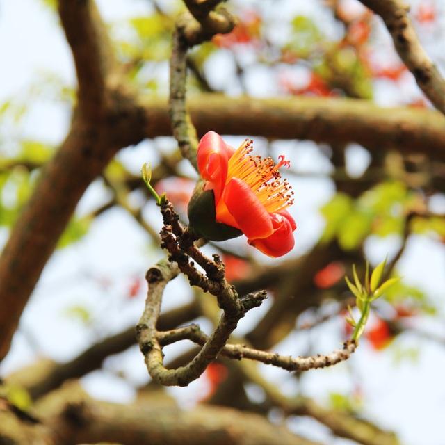 Ngẩn ngơ trước vẻ đẹp rực rỡ của hoa gạo tháng Ba - 2