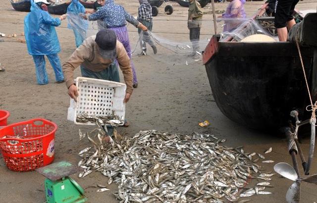 """Thanh Hoá: """"Hốt bạc"""" mùa cá trích ở Sầm Sơn - 13"""