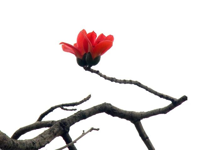 Ngẩn ngơ trước vẻ đẹp rực rỡ của hoa gạo tháng Ba - 6