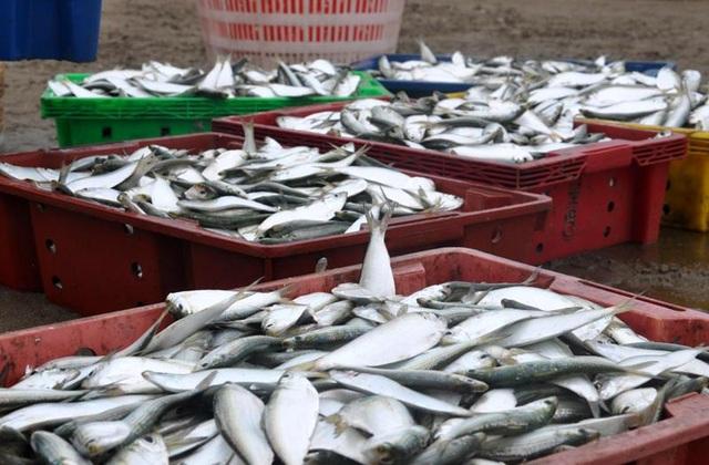 """Thanh Hoá: """"Hốt bạc"""" mùa cá trích ở Sầm Sơn - 7"""