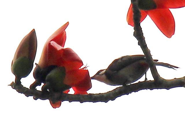 Ngẩn ngơ trước vẻ đẹp rực rỡ của hoa gạo tháng Ba - 5