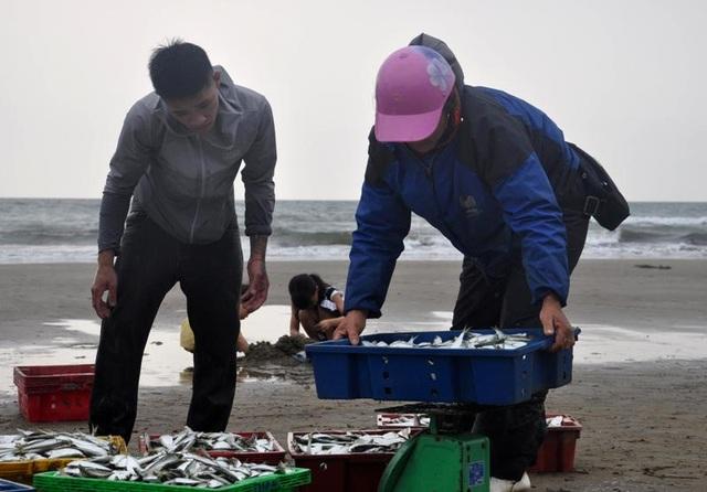 """Thanh Hoá: """"Hốt bạc"""" mùa cá trích ở Sầm Sơn - 14"""