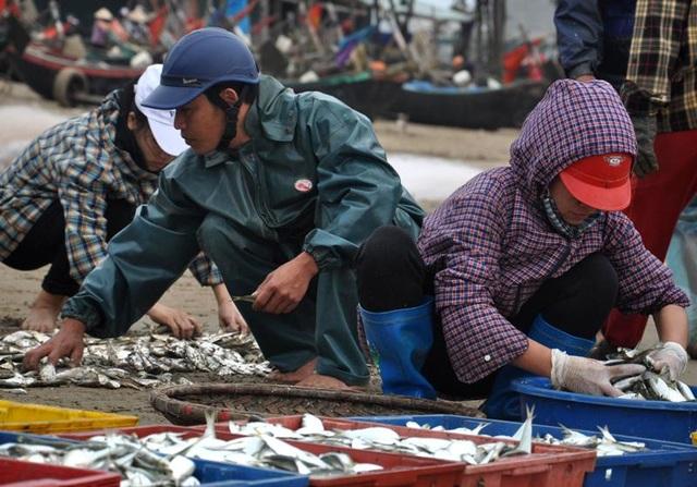 """Thanh Hoá: """"Hốt bạc"""" mùa cá trích ở Sầm Sơn - 10"""