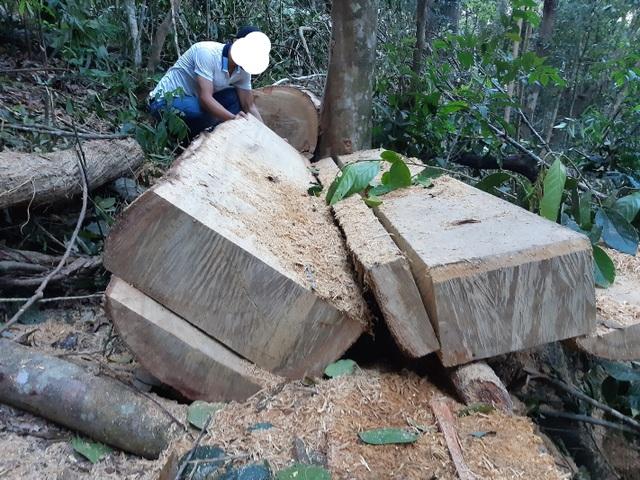 """Cận cảnh cánh rừng ngay gần uỷ ban xã bị """"xẻ thịt"""", gỗ hộp nằm ngỗn ngang - 3"""