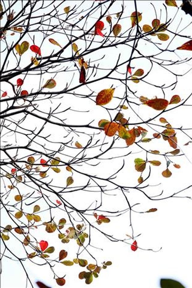 Hà Nội đẹp lạ lùng mùa cây thay lá - 8