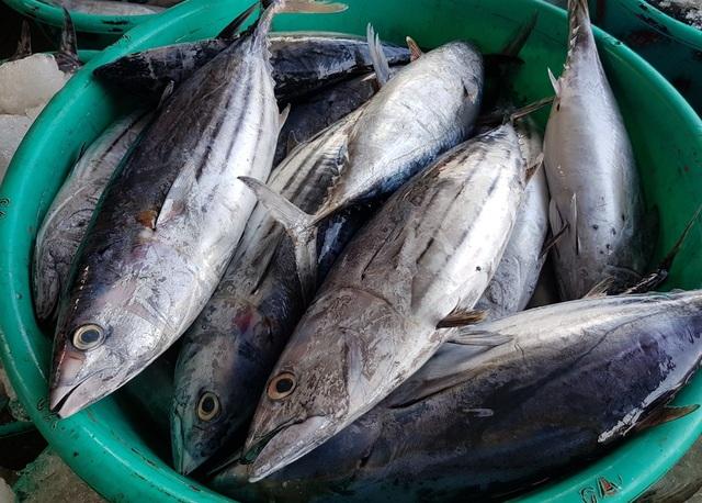 Khánh Hòa: Cá ngừ tấp nập về bờ, người lao động tất bật từ sáng đến trưa - 4