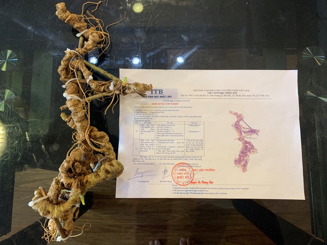 """Chiêm ngưỡng """"báu vật"""" Sâm Ngọc Linh rừng hơn 100 năm tuổi dáng rồng lượn - 6"""