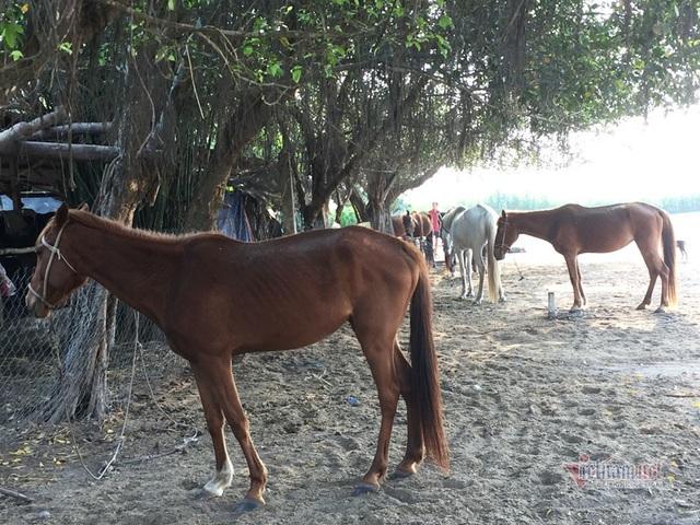 Gian nan nghề nuôi ngựa đua - 1