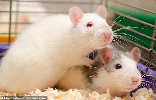 Chuột có sự đồng cảm và tránh gây đau đớn cho đồng loại | Báo Dân trí