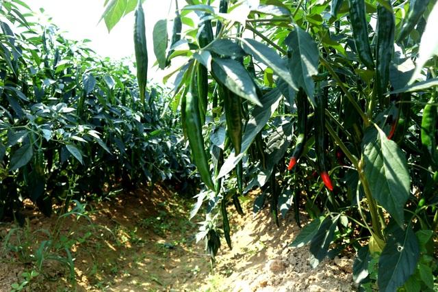 Nông dân đứng ngồi không yên vì ớt xuất khẩu rớt giá, đầu ra bấp bênh - 2