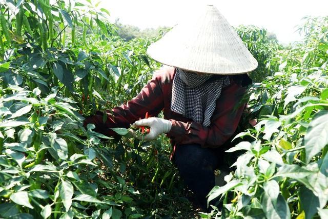 Nông dân đứng ngồi không yên vì ớt xuất khẩu rớt giá, đầu ra bấp bênh - 5