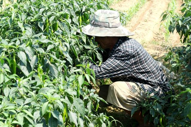 Nông dân đứng ngồi không yên vì ớt xuất khẩu rớt giá, đầu ra bấp bênh - 6