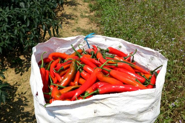 Nông dân đứng ngồi không yên vì ớt xuất khẩu rớt giá, đầu ra bấp bênh - 7