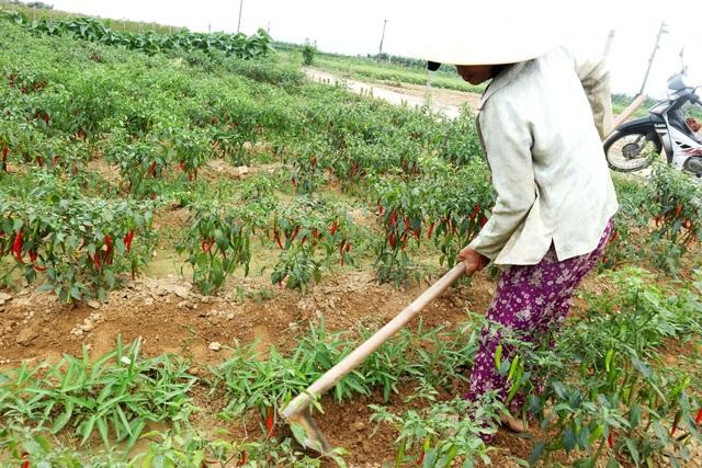 Nông dân đứng ngồi không yên vì ớt xuất khẩu rớt giá, đầu ra bấp bênh - 8